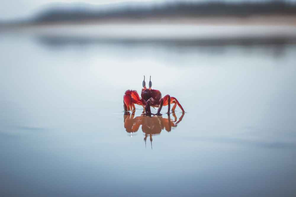 red crab on white water