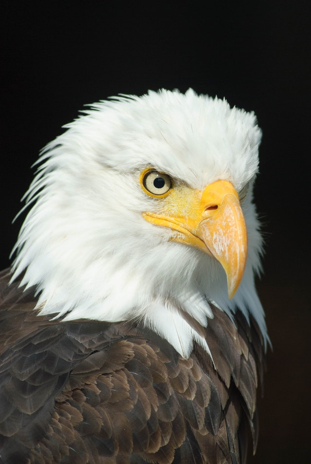 animal-bald-eagle-bird-of-prey-36846