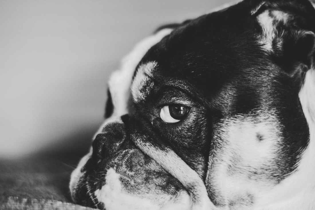 closeup photo of black and white dog