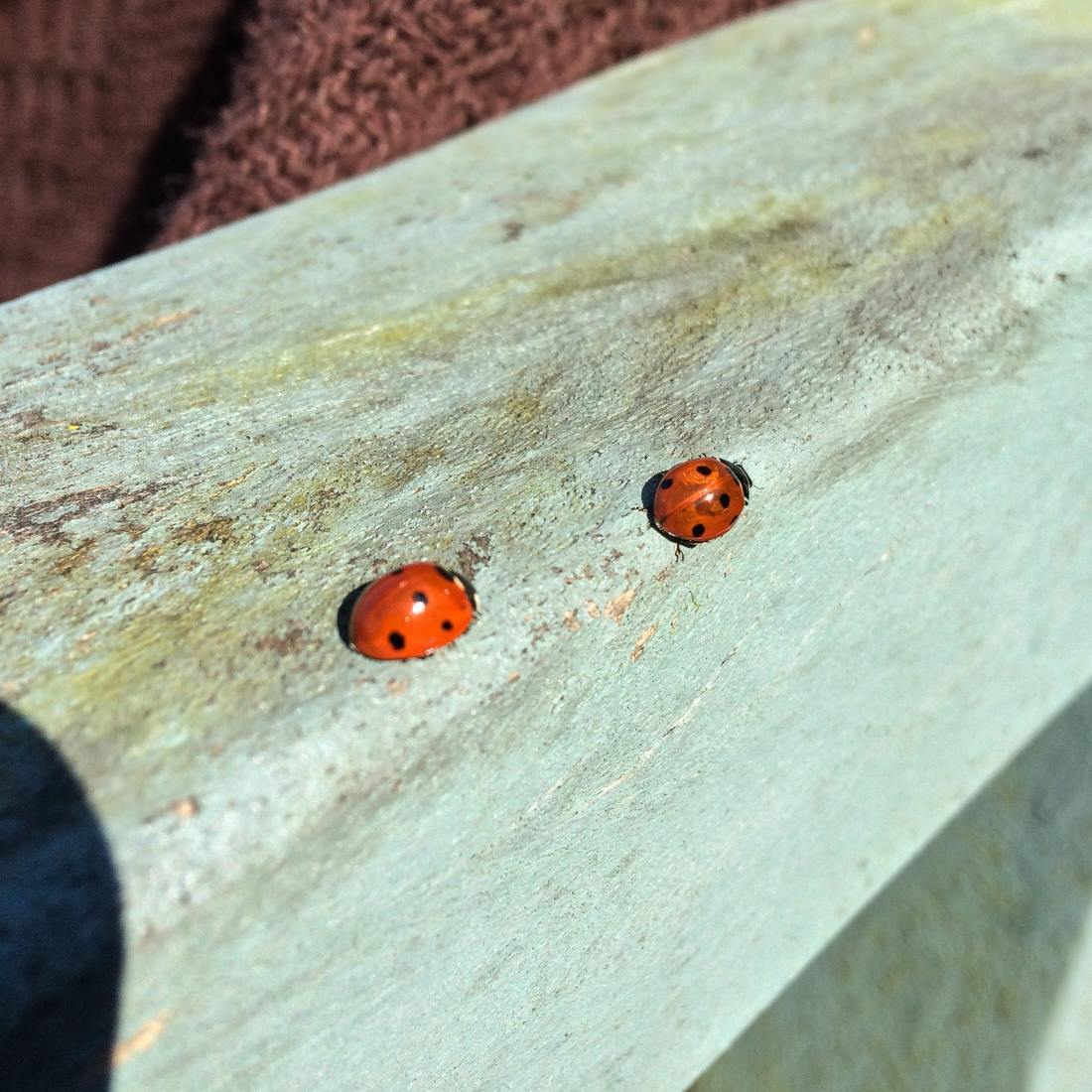 nature-insects-ladybirds-4422965