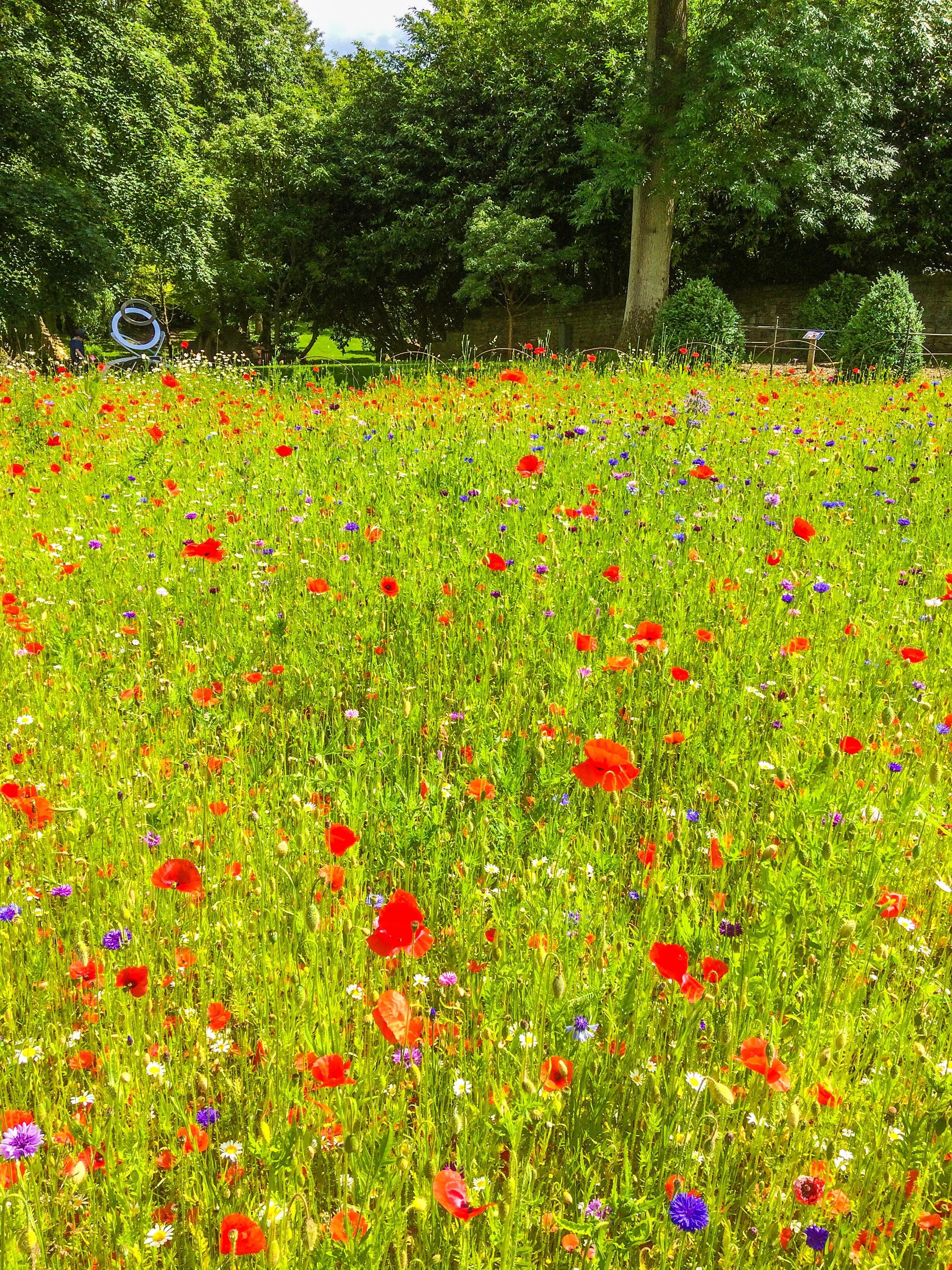 summer-grass-wild-poppies-red-flowers-3600057