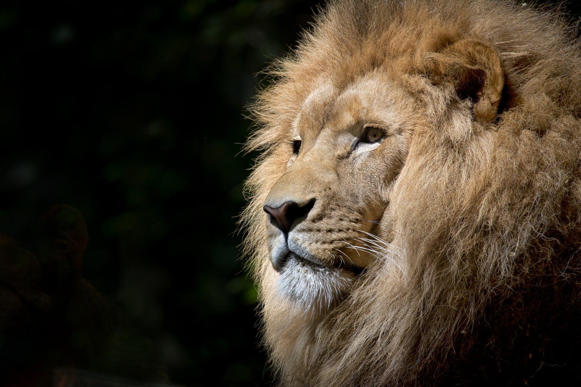 animal africa zoo lion